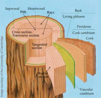 Tree diagram lantern fly