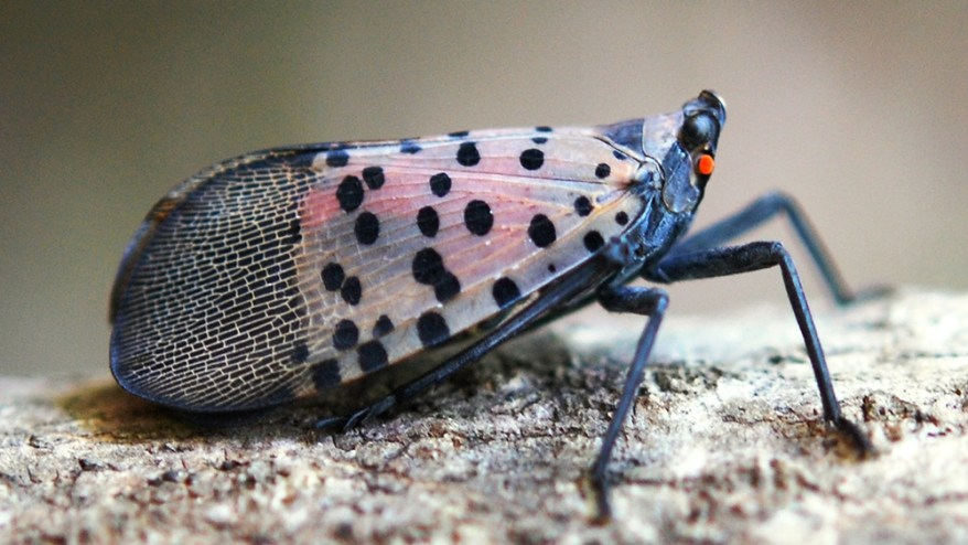 adult lantern fly