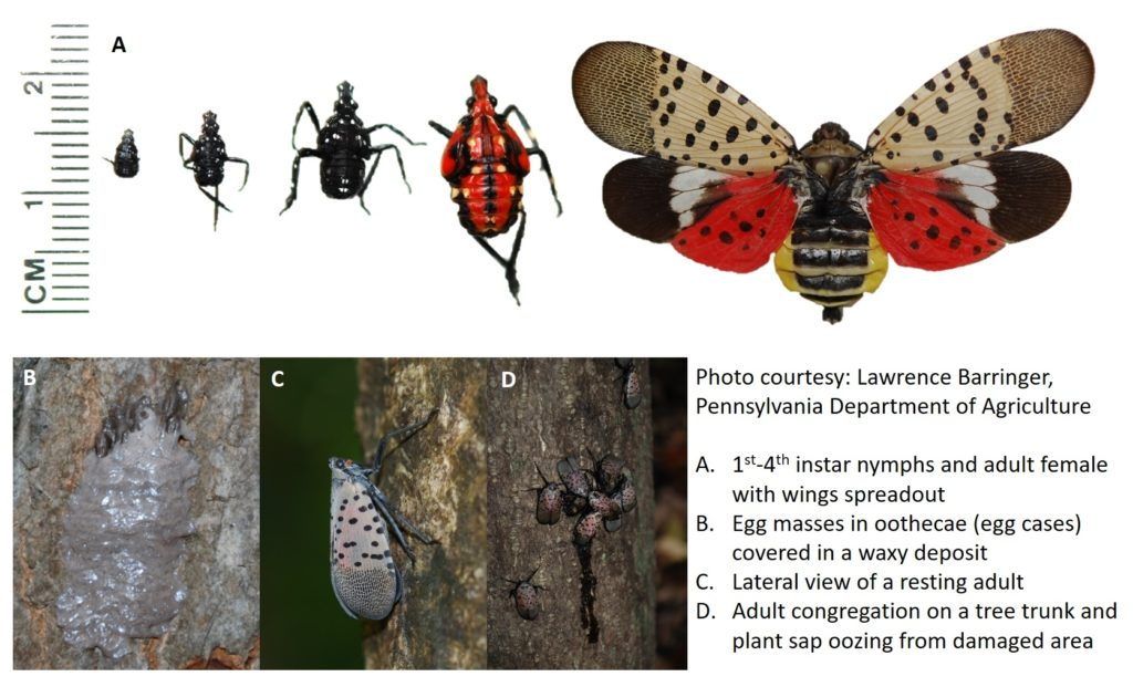 Life stages of the lantern fly