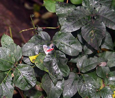 Honeydew lantern fly
