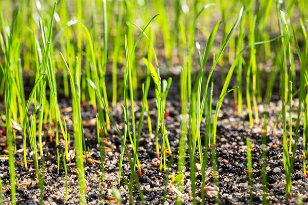 Turf renovation grass seeds begin to grow on the soil in the garden
